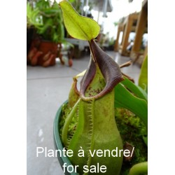 Nepenthes spathulata x vetchii