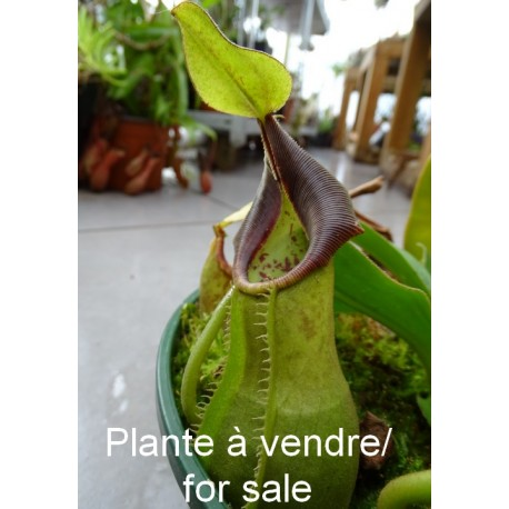 http://lesplantescarnivores.fr/1400-thickbox/nepenthes-spathulata-x-vetchii.jpg