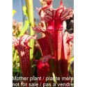 Sarracenia 'Devil Fire'