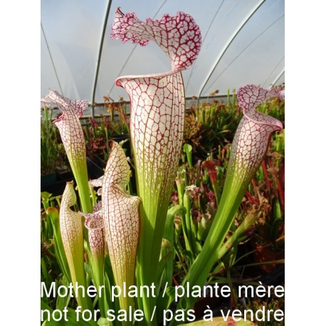http://lesplantescarnivores.fr/1633-thickbox/sarracenia-minor-forme-large.jpg
