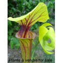 Sarracenia Flava var. ornata heavy veins