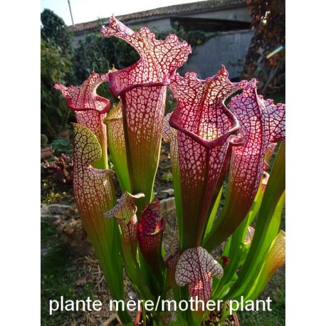 http://lesplantescarnivores.fr/968-thickbox/sarracenia-super-juthaphil.jpg